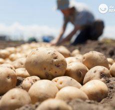 Patatas. Tipos y para qué se utiliza cada una