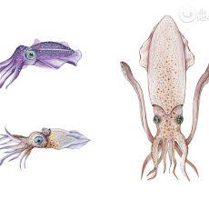 Calamares, chipirones, sepia… ¿Cuál es mejor?¿Cuál elegir para tus recetas?